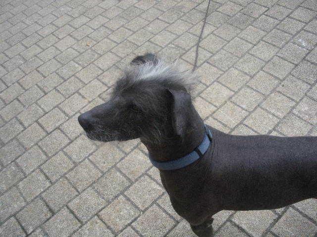Sky, chien Chien nu du Pérou