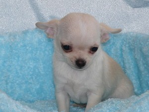Simba , chien Chihuahua