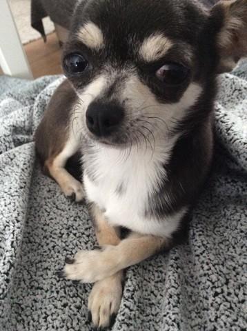Eyla, chien Chihuahua