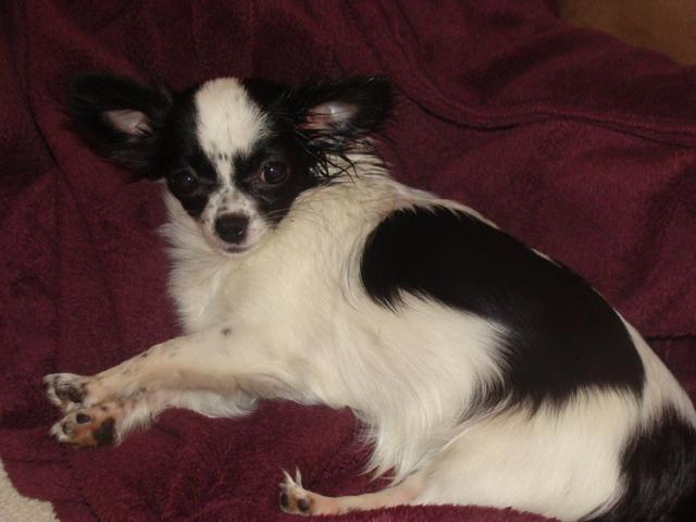 Luciole, chien Chihuahua
