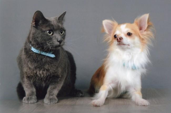 Jocker, chien Chihuahua