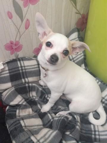 Milla, chiot Chihuahua