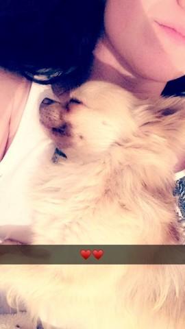 Lipton, chien Chihuahua