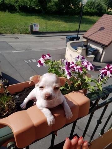 Lliotte, chiot Chihuahua