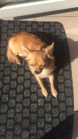 Maya, chien Chihuahua