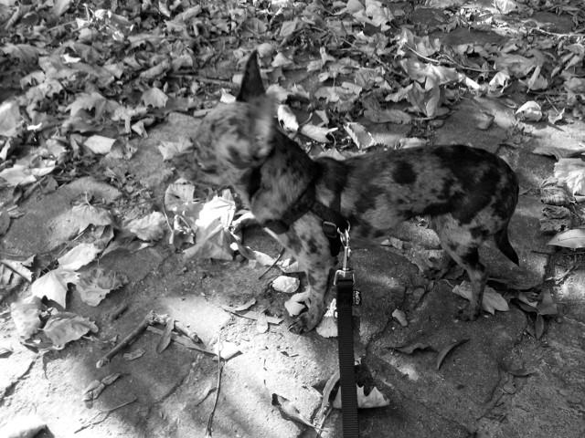 Iouka, chien Chihuahua