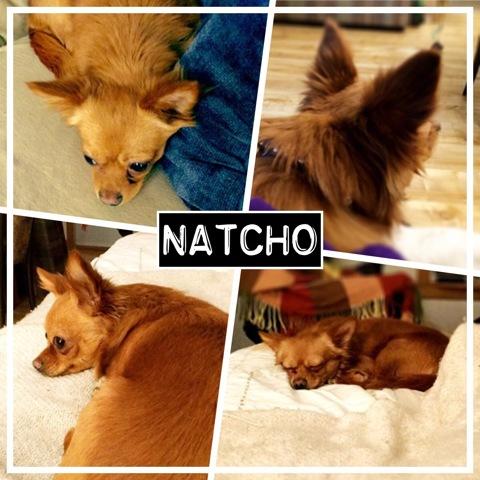 Natcho, chien Chihuahua