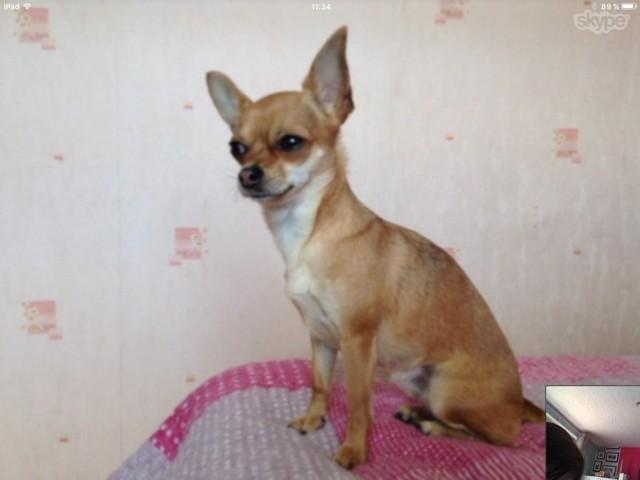 Shy, chien Chihuahua