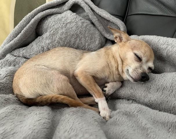 Mika, chien Chihuahua