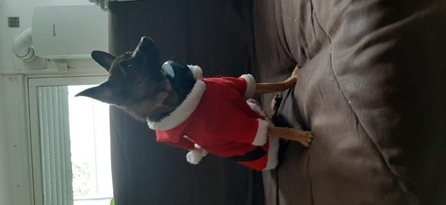 Isadora, chien Chihuahua