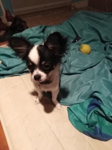 Roublard, chien Chihuahua