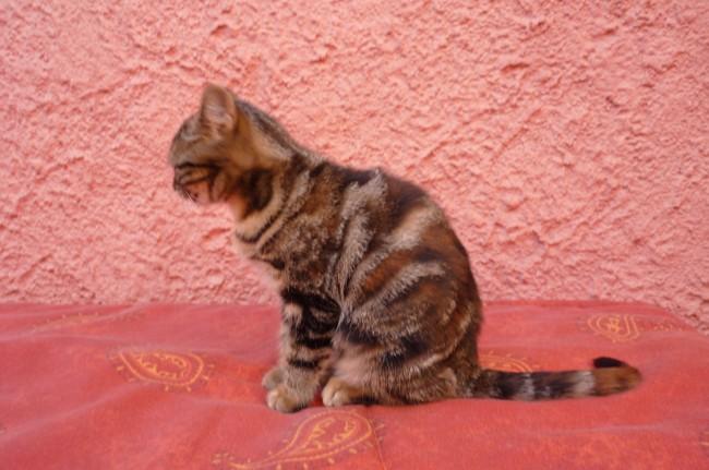 Chimène, chaton Gouttière