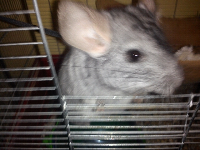 Lucky, rongeur Chinchilla