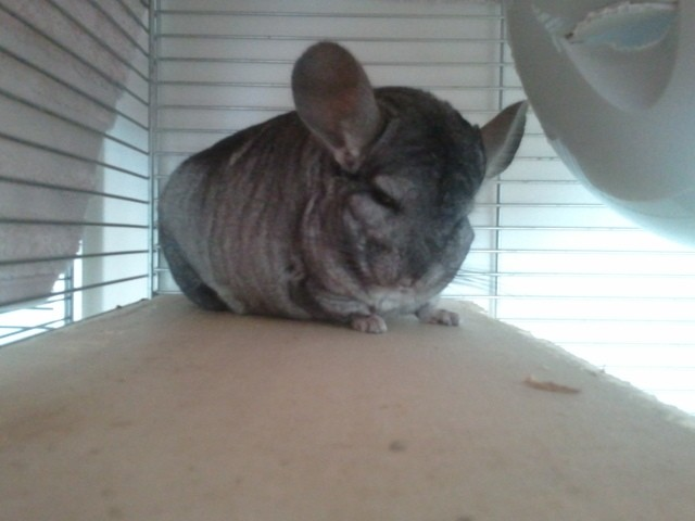 Pato, rongeur Chinchilla