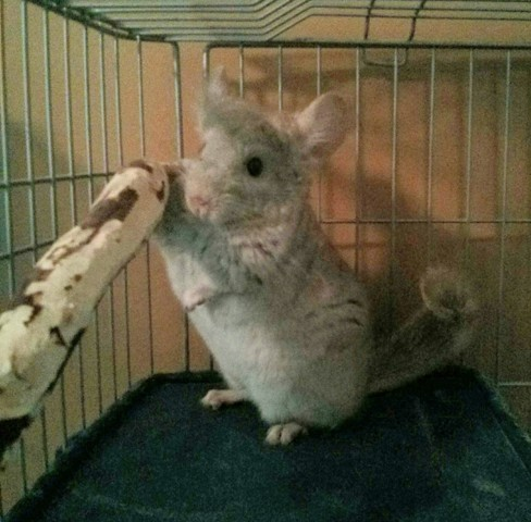 Mia, rongeur Chinchilla