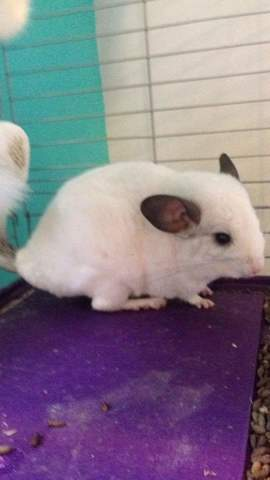 Olaf, rongeur Chinchilla