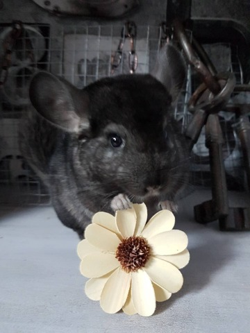 Link, rongeur Chinchilla