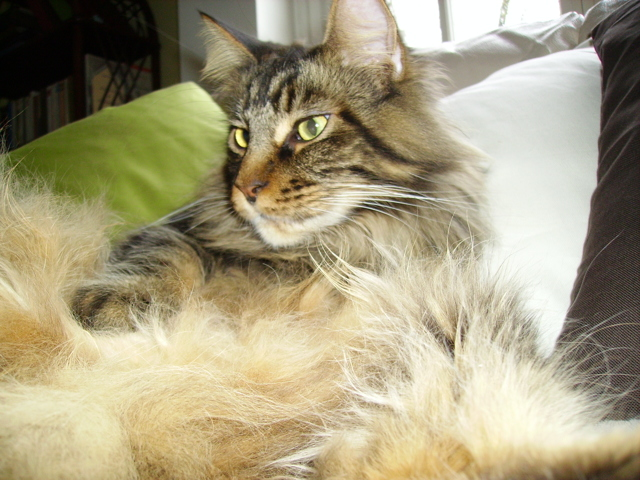 Chinoock, chat Maine Coon