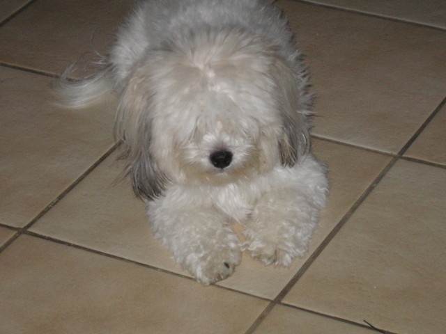 Chipie, chien Coton de Tuléar
