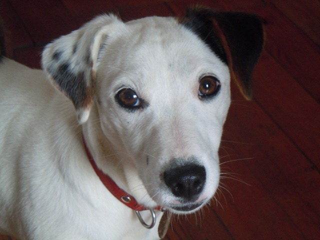 Chips, chien Jack Russell Terrier