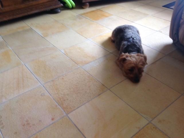 Chloé, chien Yorkshire Terrier