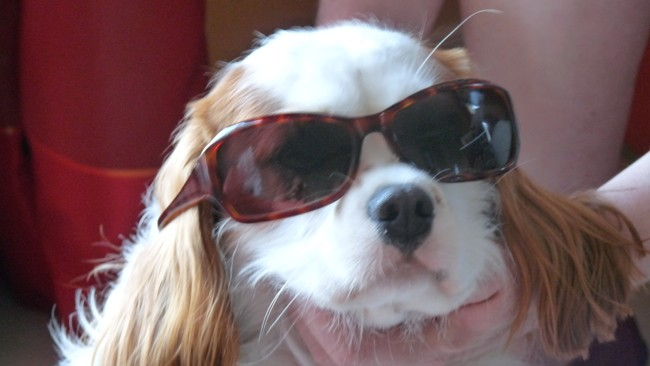 Choupette, chien Cavalier King Charles Spaniel