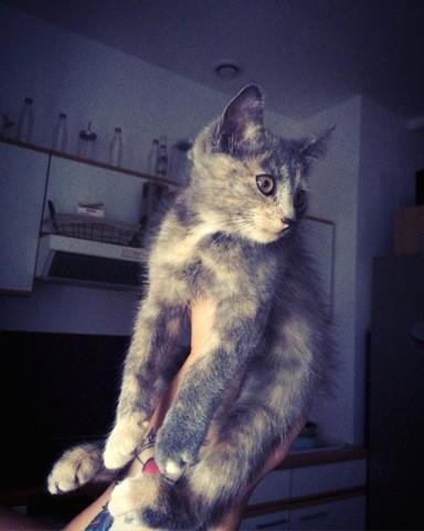Choupi, chat Européen