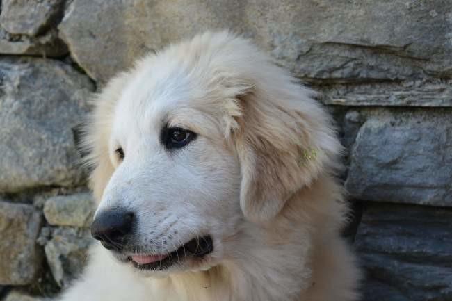 Choupie, chien Chien de montagne des Pyrénées