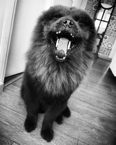 Iako, chien Chow-Chow