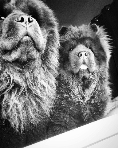 Pumba, chien Chow-Chow