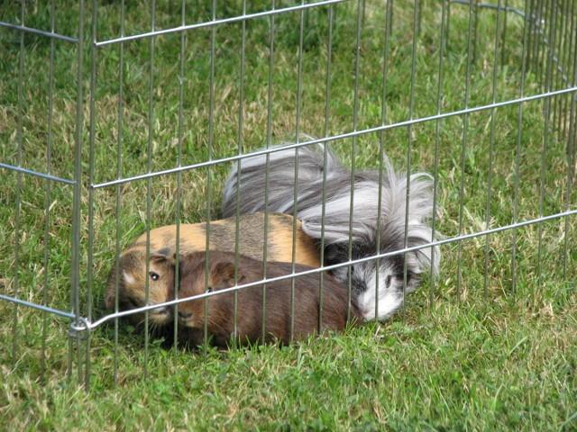 Churros, rongeur Cochon d'Inde