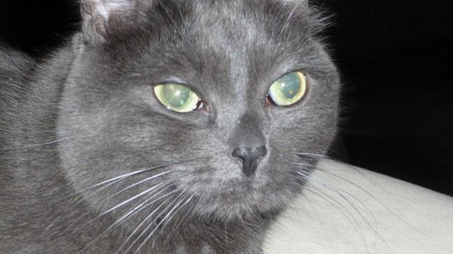 Clovis, chat Européen