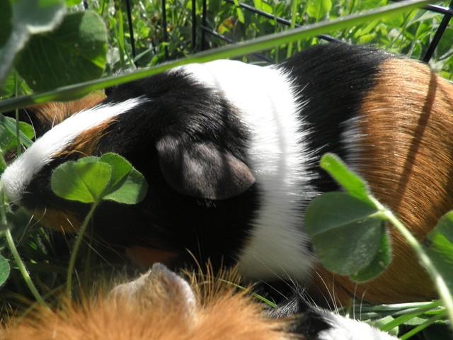 Pissaladière, rongeur Cochon d'Inde