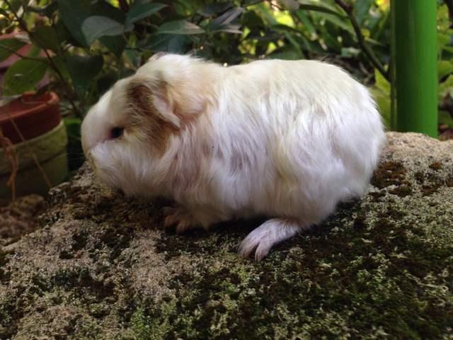 Vanille, rongeur Cochon d'Inde