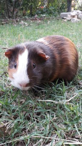 Nitro, rongeur Cochon d'Inde