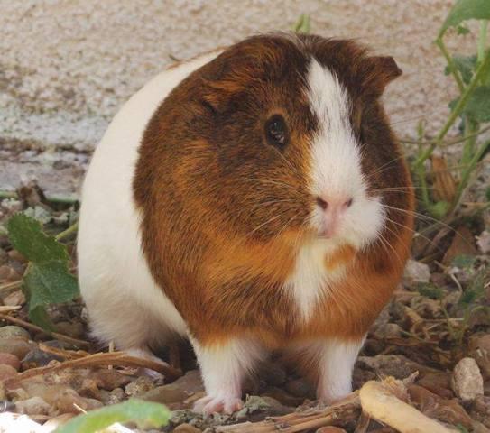 Mimine, rongeur Cochon d'Inde