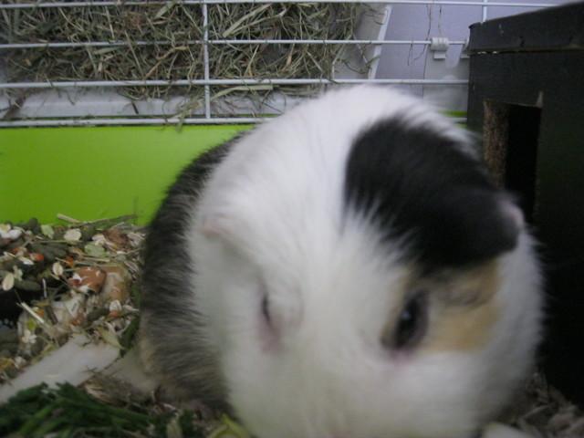 Roméo, rongeur Cochon d'Inde