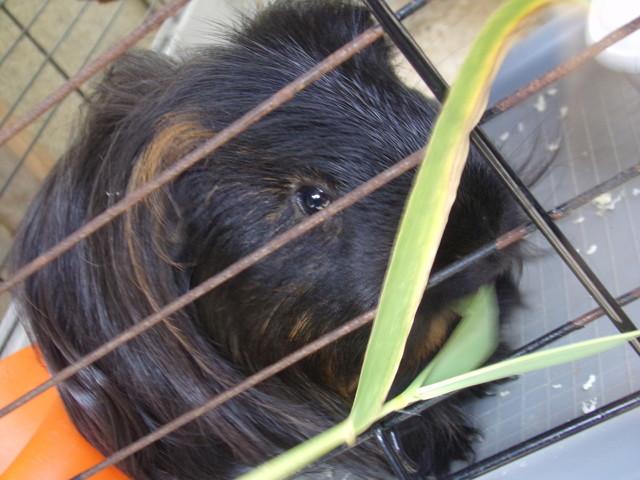 Snoupy, rongeur Cochon d'Inde