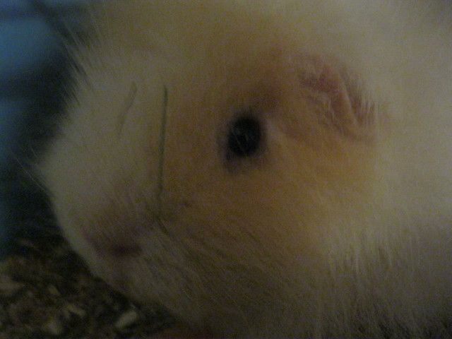 Hugo, rongeur Cochon d'Inde