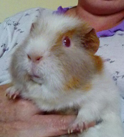 Choupie, rongeur Cochon d'Inde