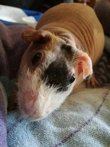 Rose, rongeur Cochon d'Inde