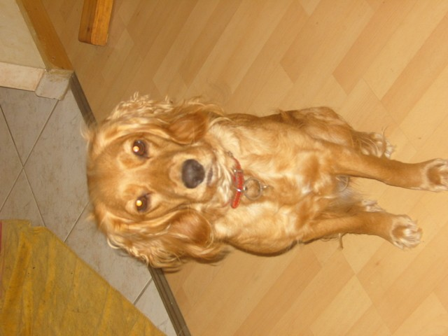 Helsie, chien Cocker anglais