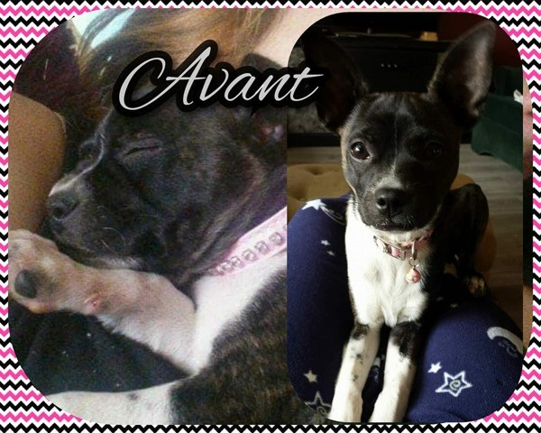 Cocotte, chiot Chihuahua