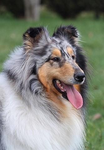 Daisy Bleue De La Vallée Du Charme, chien Colley à poil long