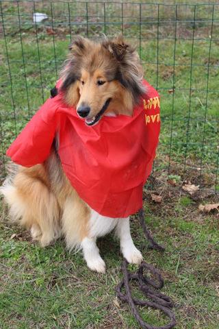 Lasko, chien Colley à poil long