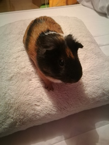 Cookie, Cochon d'Inde