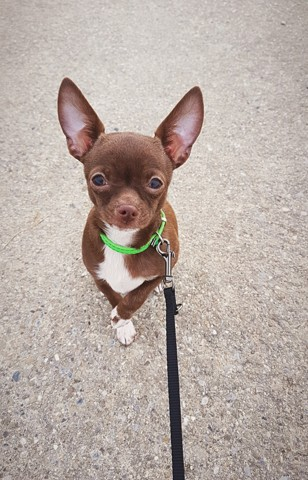 Cookie, chiot Chihuahua