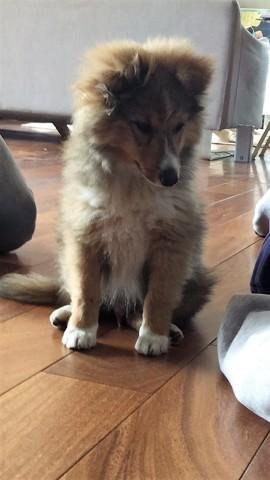 Cookie, chien Berger des Shetland