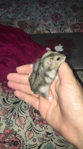 Cookie Pouk, rongeur Hamster