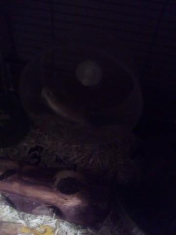 Cookies, rongeur Hamster